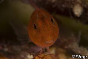 Blenny Fish Sardinia Diving