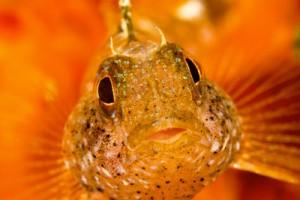 gallery-1 Blennyfish Palau Diving Sardegna