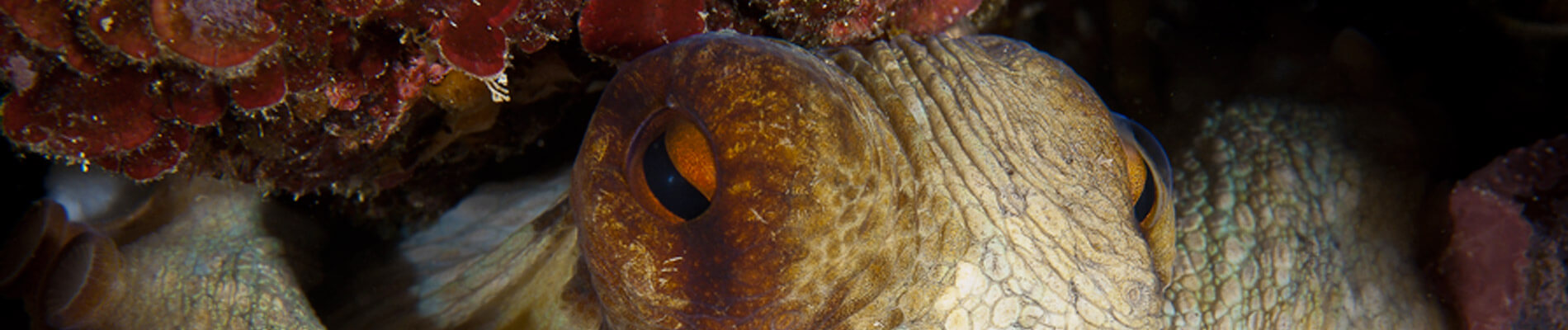 Polpe plongée en Sardaigne Palau