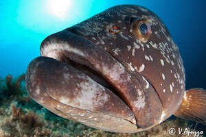 Grouper fish face immersione Sardegna