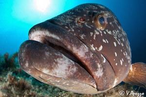 Grouper fish face immersione Sardegna