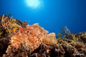 Scorpian fish Diving Palau Nautilus Diving Center