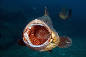 Grouper mouth at Diving Lavezzi